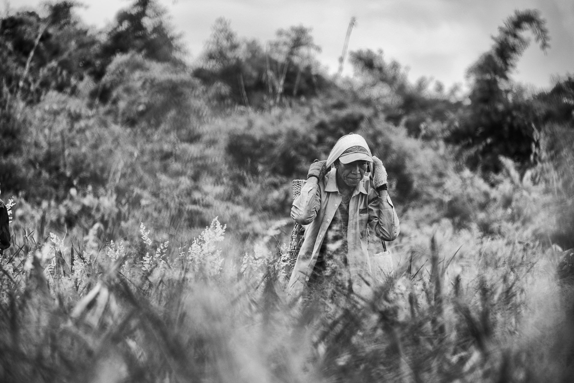 PLANTATION Chiang rai thailand asia tea pineapple rise working fields