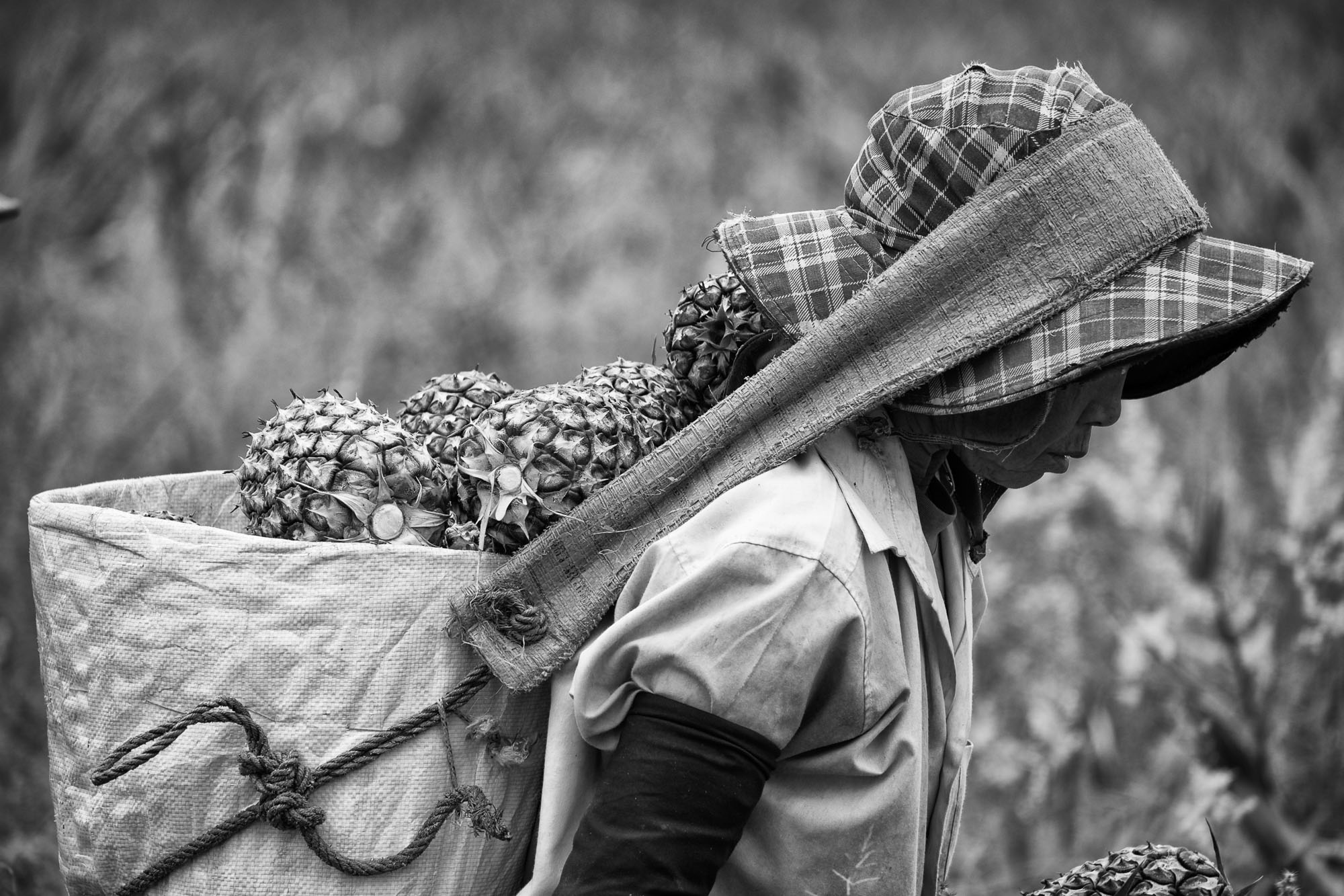 PLANTATION Chiang rai thailand asia tea pineapple rise