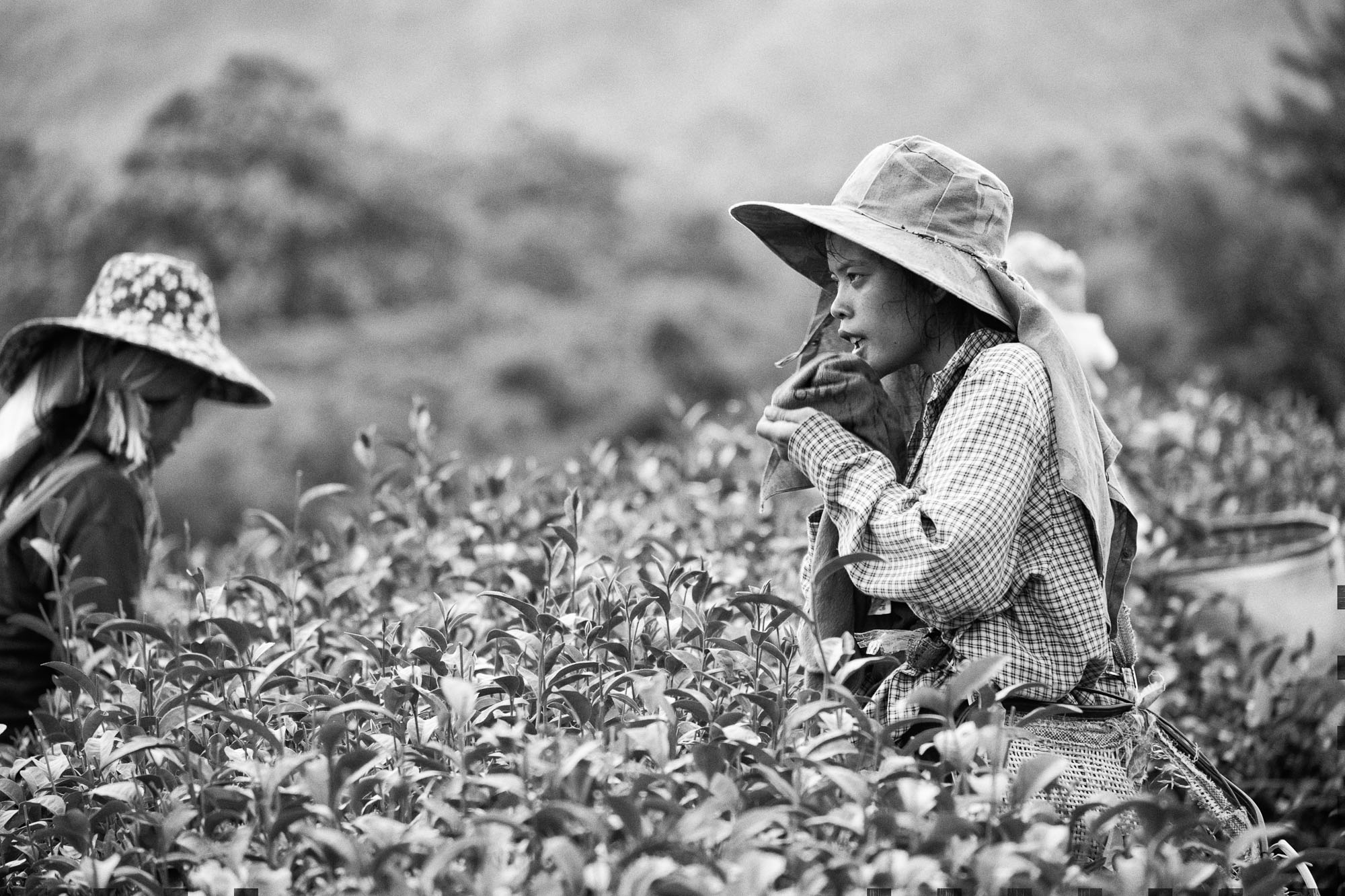 PLANTATION Chiang rai thailand asia tea pineapple rise lady