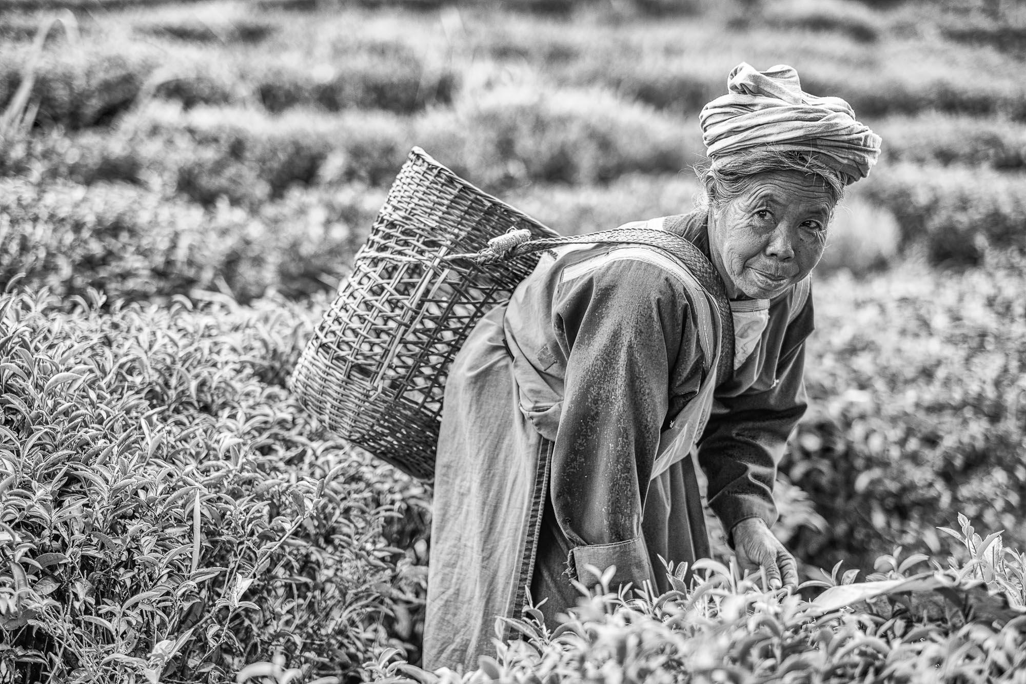 PLANTATION Chiang rai thailand asia tea pineapple rise hill tribe