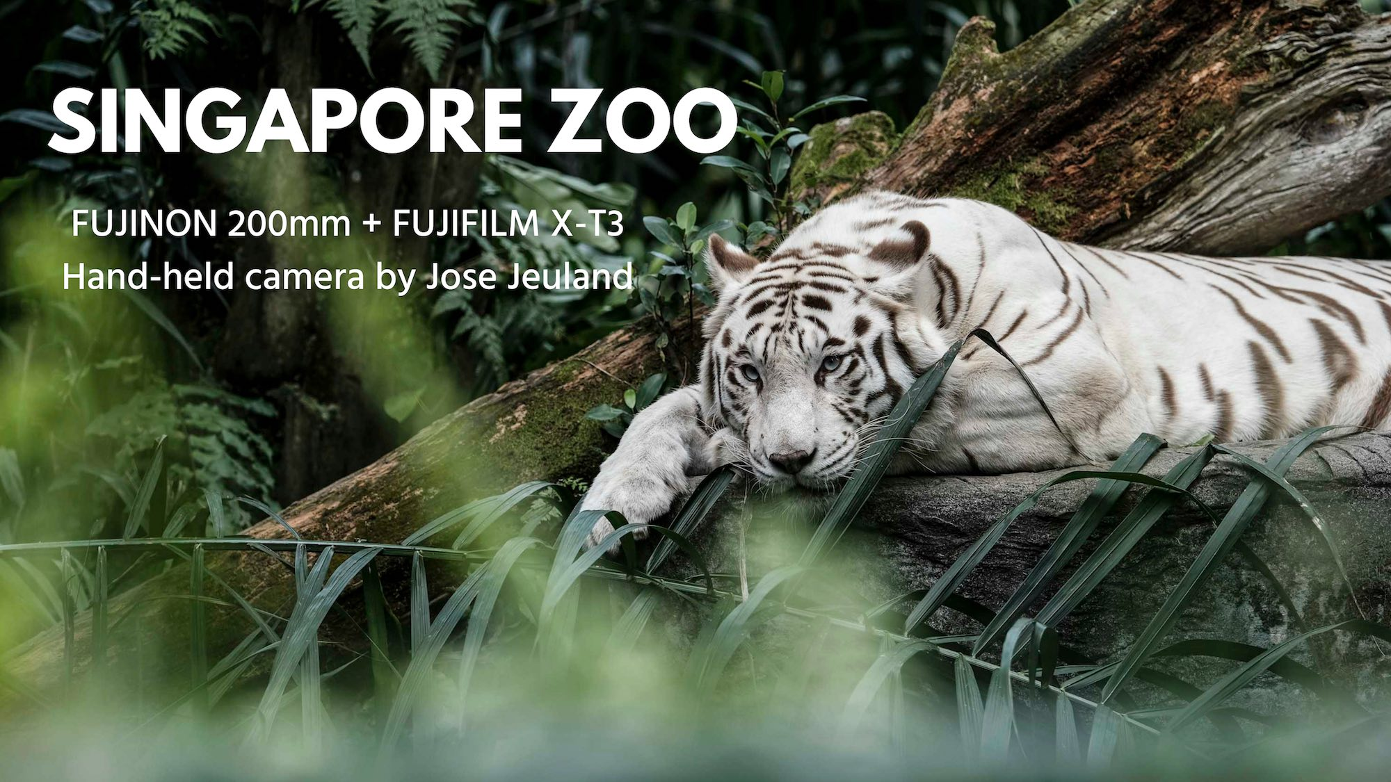 Singapore zoo animals fujinon 200mm f2 fujifilm XT3 tiger white