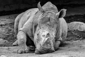 Singapore zoo animals fujinon 200mm f2 fujifilm XT3 white Rhinoceros