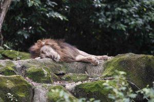 Singapore zoo animals fujinon 200mm f2 fujifilm XT3 lion
