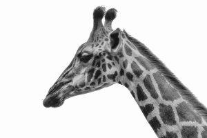Singapore zoo animals fujinon 200mm f2 fujifilm XT3 giraffe