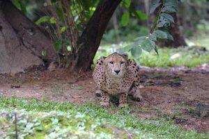 Singapore zoo animals fujinon 200mm f2 fujifilm XT3 Cheetah