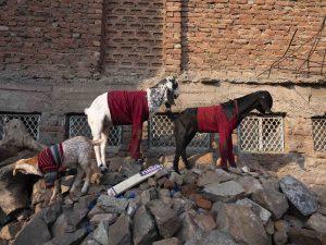 goats with clothing India New Delhi street photography Photographer Jose Jeuland FUJIFILM GFX50R travel