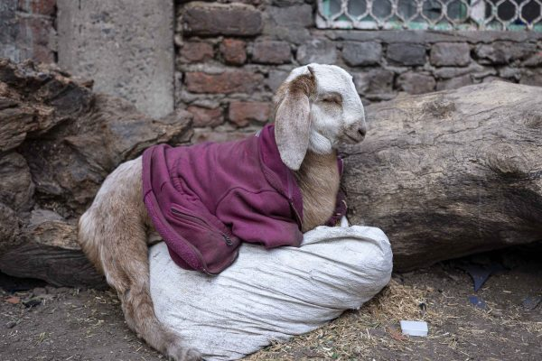 goat with cloth India New Delhi street photography Photographer Jose Jeuland FUJIFILM GFX50R travel