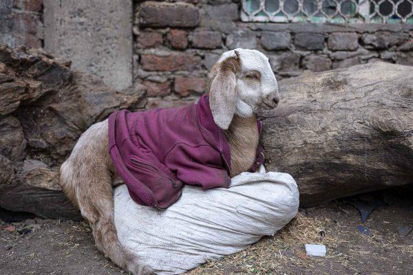 goat with cloth India New Delhi street photography Photographer Jose Jeuland FUJIFILM GFX50R travel