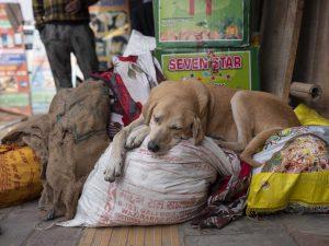 dog sleeping India New Delhi street photography Photographer Jose Jeuland FUJIFILM GFX50R travel