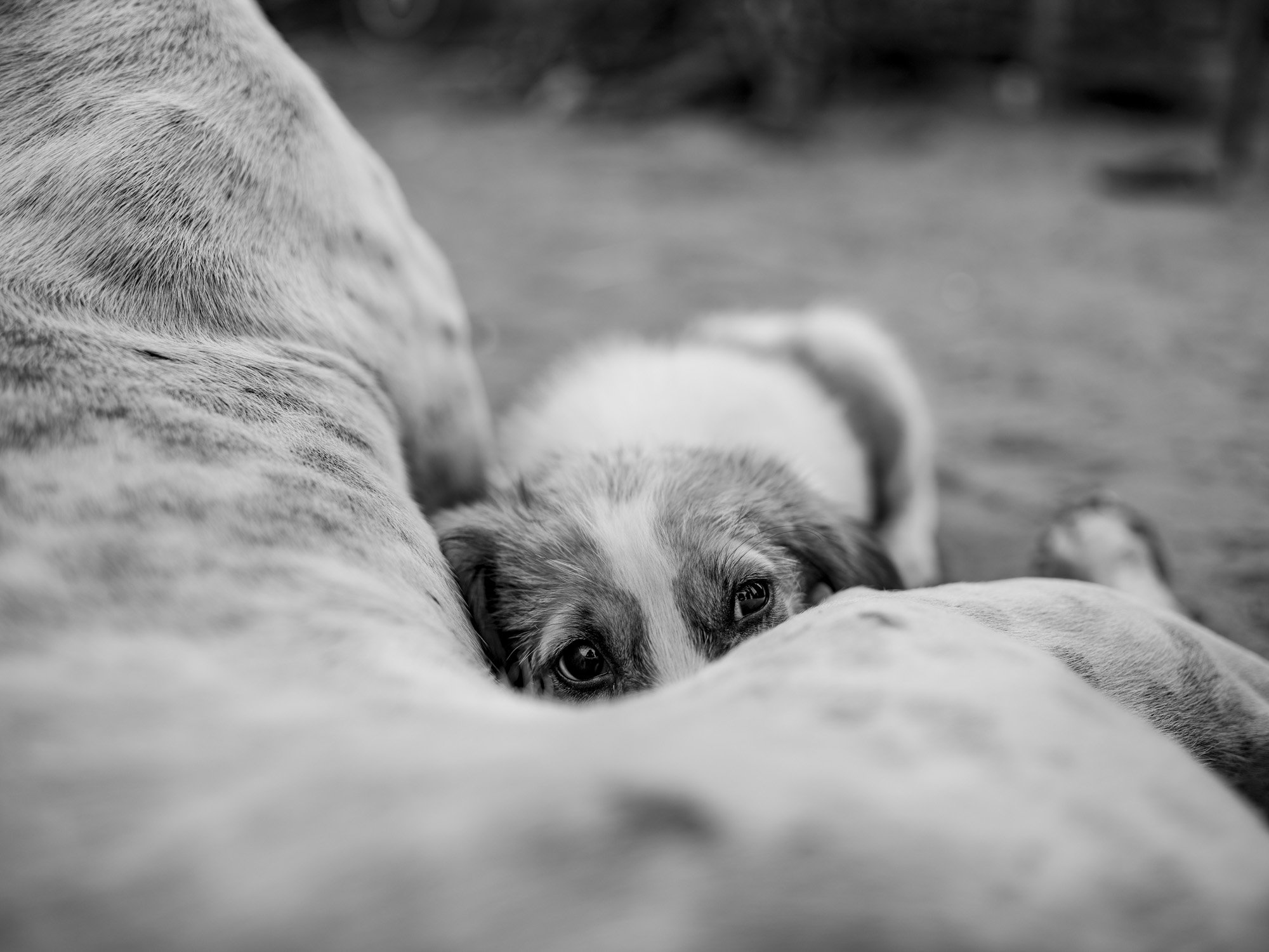 puppy Gypsy Kalbelia tribe nomad Rajasthan India Documentary Photography Jose Jeuland Photographer print fine art