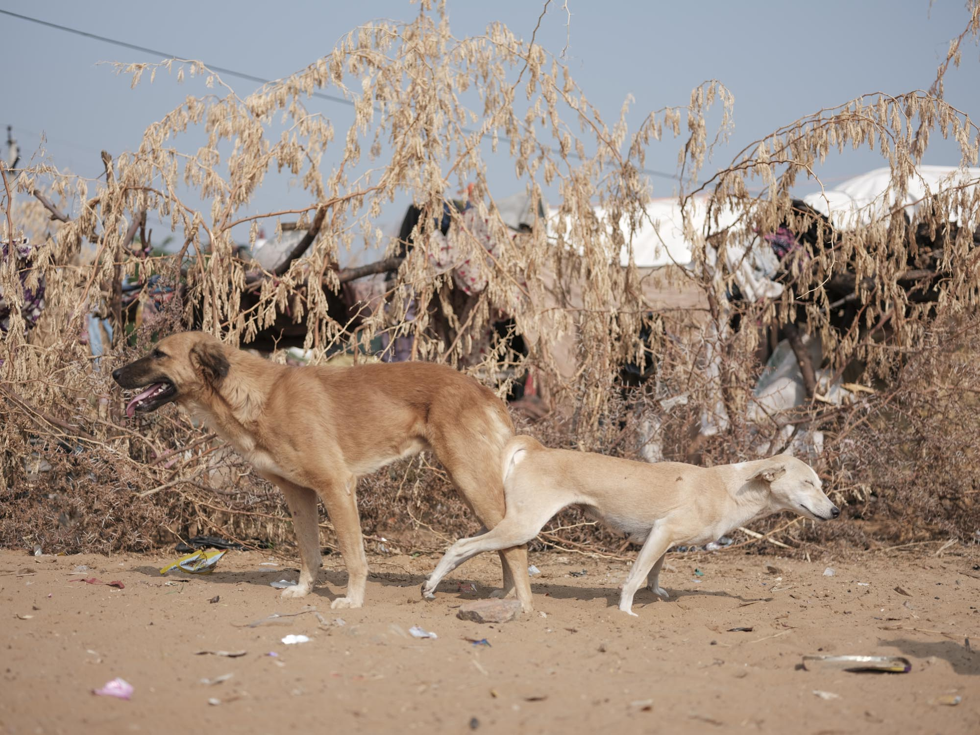 dogs Gypsy Kalbelia tribe nomad Rajasthan India Documentary Photography Jose Jeuland Photographer print fine art