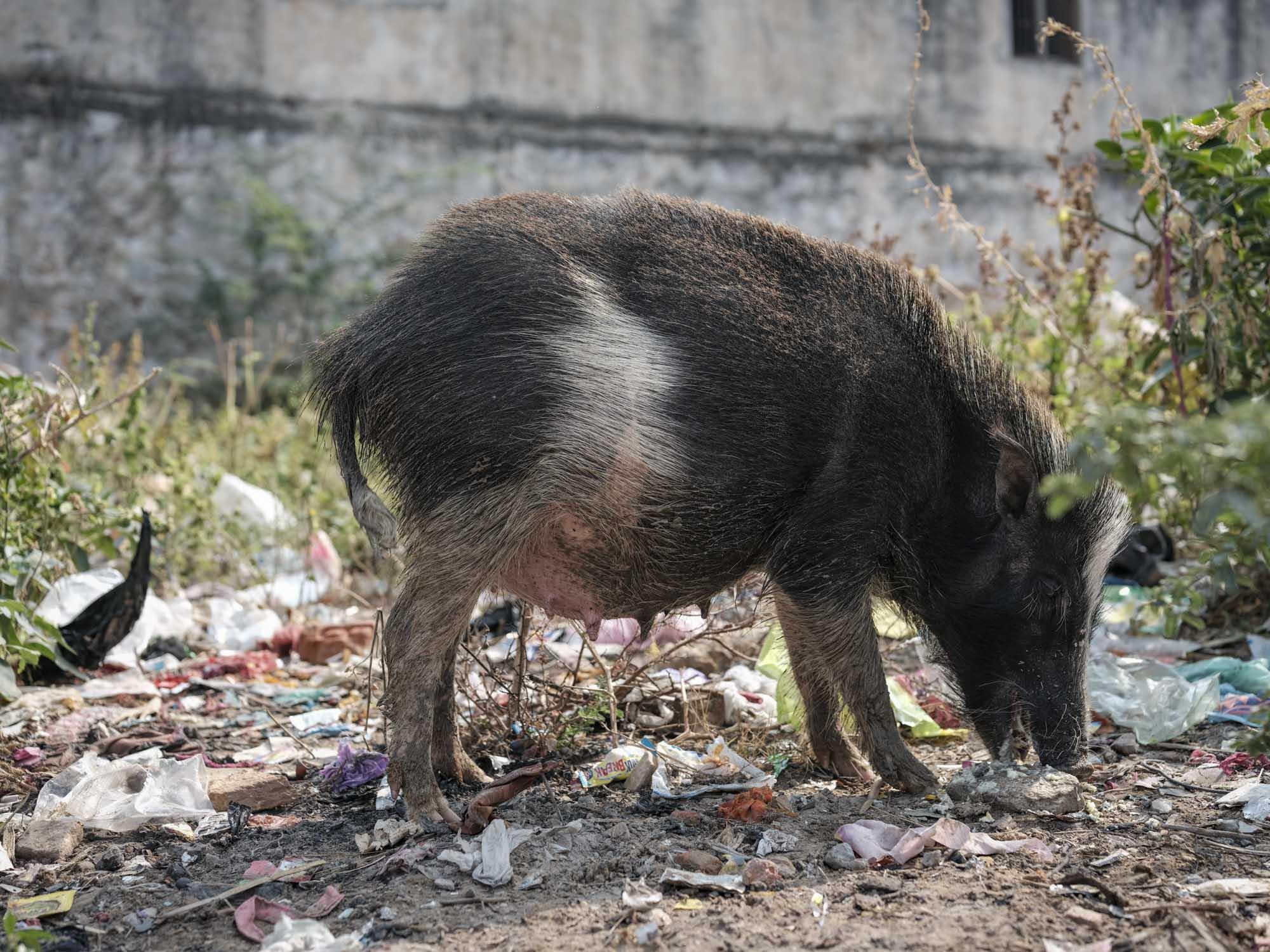 wild pig Gypsy Kalbelia tribe nomad Rajasthan India Documentary Photography Jose Jeuland Photographer print fine art