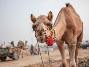 camel fair Pushkar Travel Documentary Photography India Jose Jeuland-4