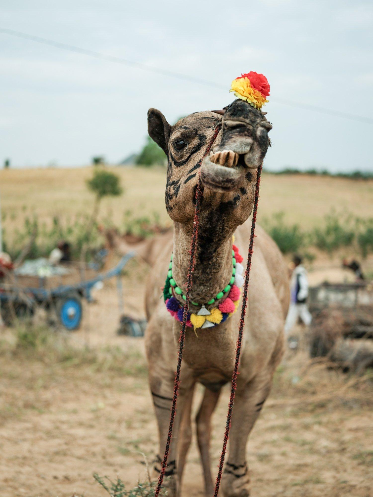 Pushkar Camel Fair Travel Documentary Photography India Jose Jeuland-2-6