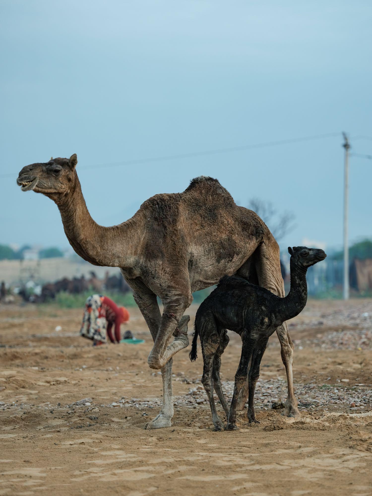 Pushkar Camel Fair Travel Documentary Photography India Jose Jeuland-2