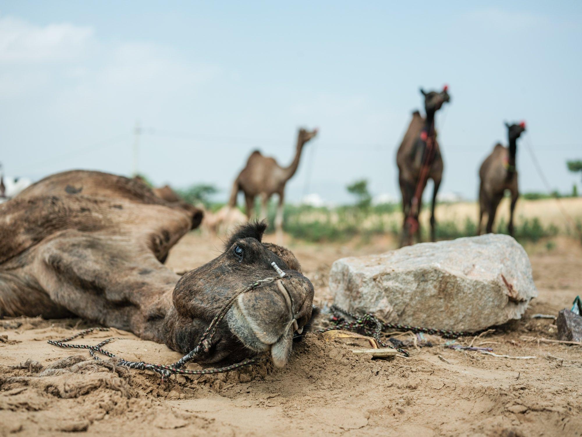 Pushkar Camel Fair Travel Documentary Photography India Jose Jeuland-5-3
