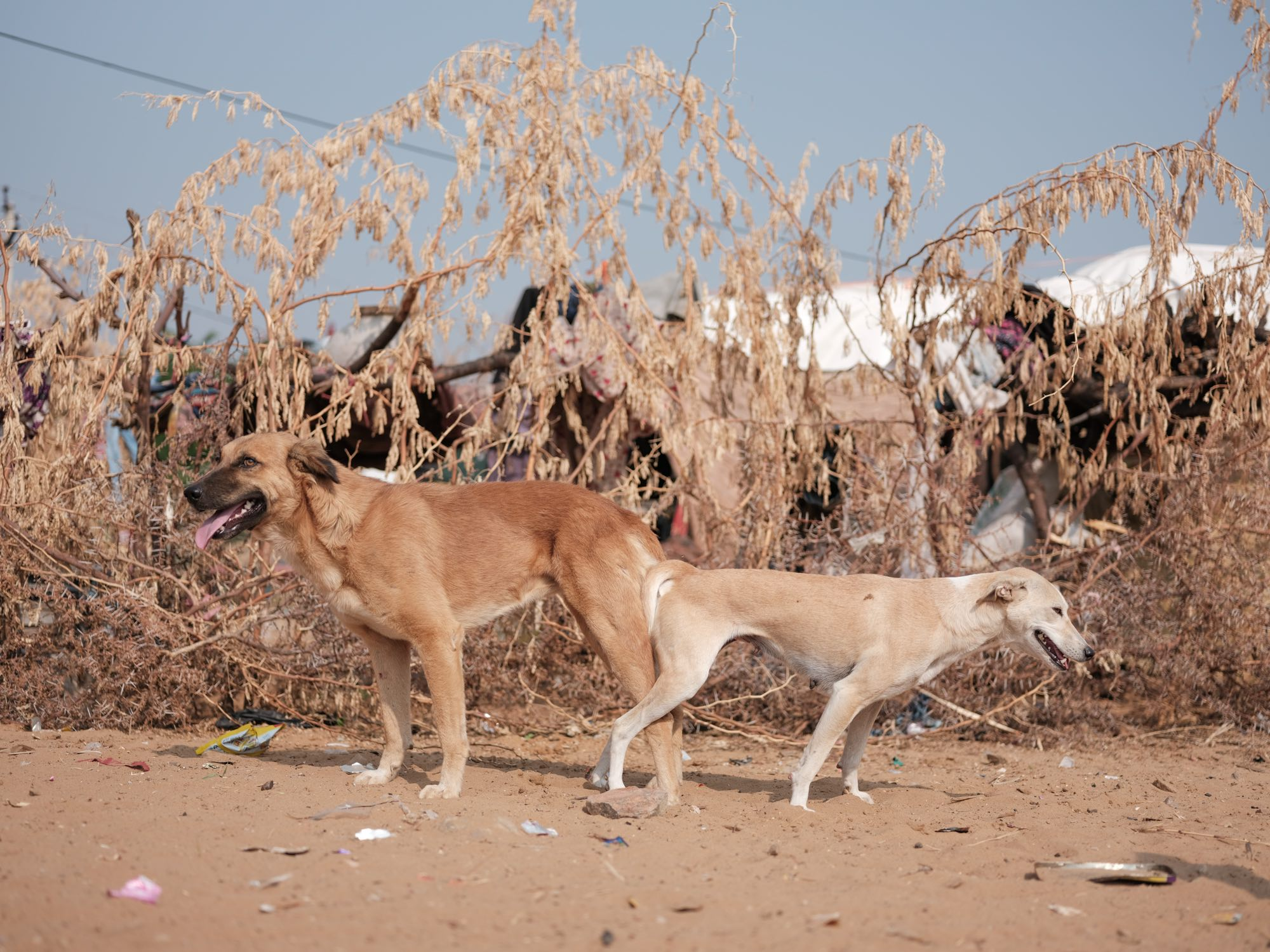 Pushkar Camel Fair Travel Documentary Photography India Jose Jeuland-7-2